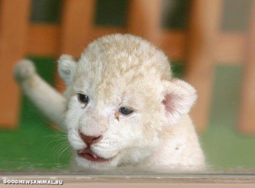 Белые львята (19 фото)