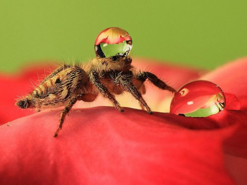 Умилительные пауки в шапочках из воды (8 фото)