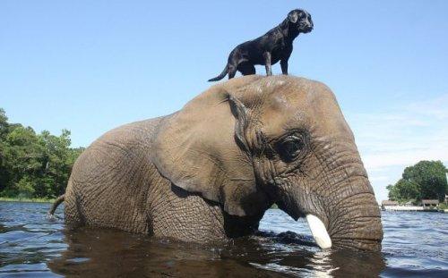 Удивительная дружба слона и собаки (9 фото + видео)