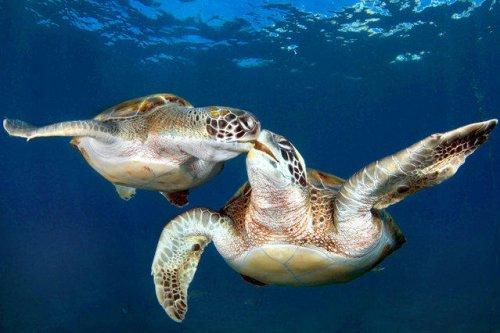 Синхронно плавающие черепахи (11 фото)