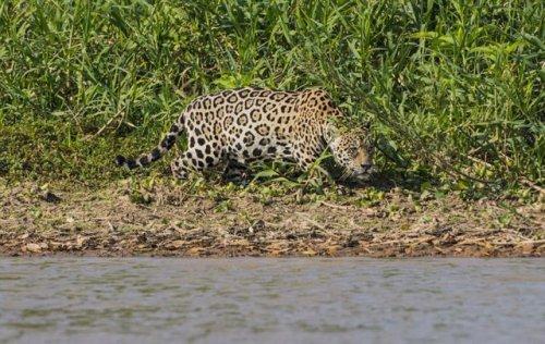 Схватка ягуара и аллигатора (10 фото)