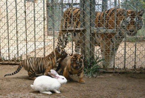 Отважный кролик (3 фото)