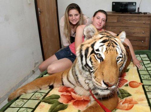 Cемь тигров в доме (10 фото)