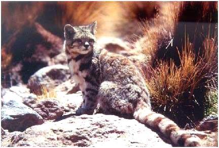 Андская горная кошка (4 фото)