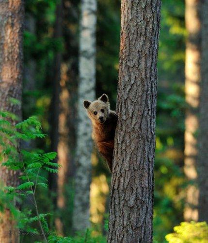 """""""Мишка на отдыхе"""" от эстонского фотографа-любителя взорвал National Geographic (30 фото)"""