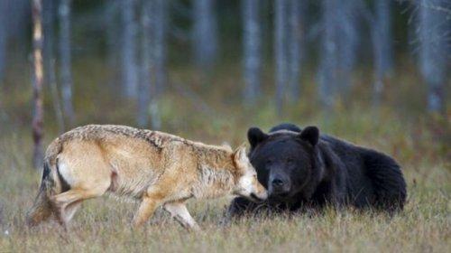 Как медведь с волком дружили (6 фото)