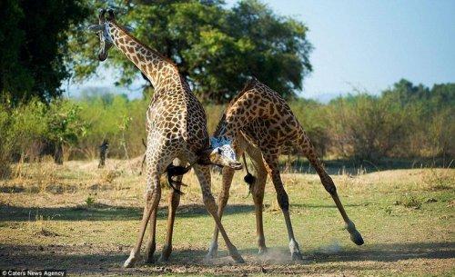 Страстное танго в исполнении жирафов (8 фото)