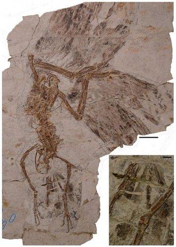 Цзехолорнис обладал уникальным хвостом