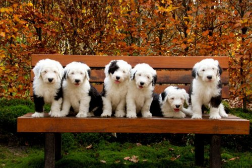 Шесть очаровательных щеночков бобтейла (14 фото)