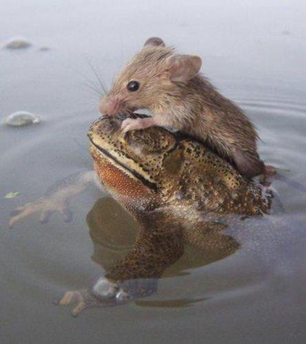 Благородная лягушка спасла крысу от гибели (3 фото)