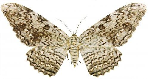 Cамые большие бабочки в мире (7 фото)