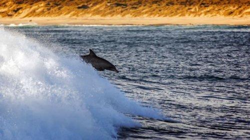 Дельфины - серферы (4 фото)