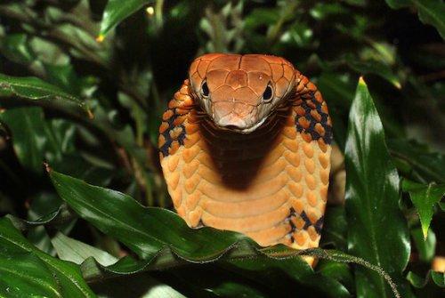 10 интересных фактов о королевской  кобре