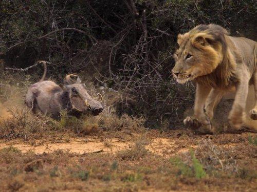 Кабанчик невовремя перебежал дорогу льву (8 фото)