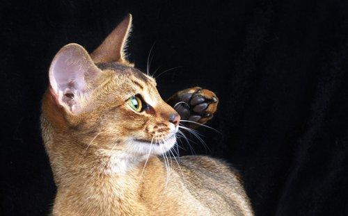Чем интересна абиссинская порода кошек? (3 фото)