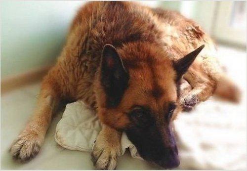 Счастливый конец: брошенный возле приюта пёс-солдат Джонатан Блейд обрёл дом