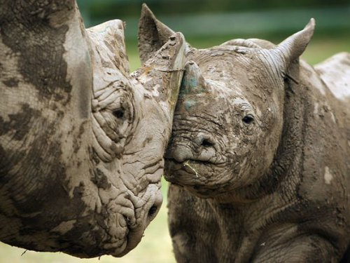 В Африке вымерли черные носороги