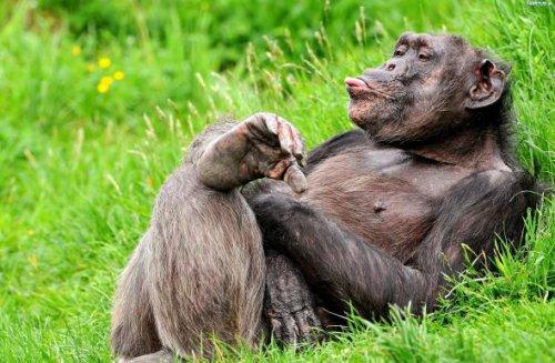 Это интересно: Шимпанзе — не обезьяны (3 фото)