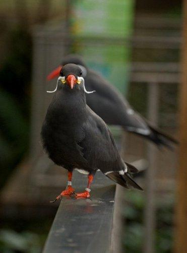 Усатые птицы (11 фото)