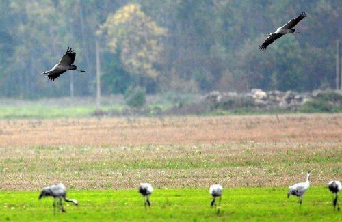 Молодой эстонский серый журавль добрался до Эфиопии и поставил рекорд, пролетев почти 6000 км