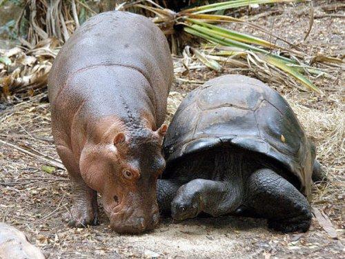 Осиротевший бегемотик подружился со 130-летней черепахой (8 фото)