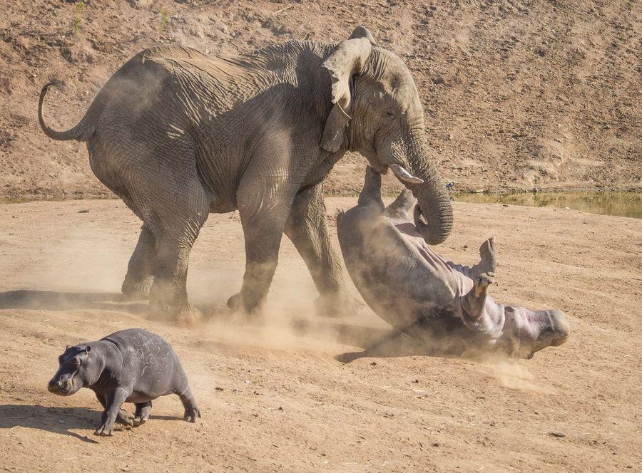 как слоны нападают на людей пошив больших размеров