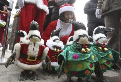 Пингвины на предрождественской прогулке в южнокорейском зоопарке (20 фото + видео)