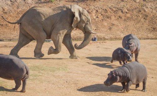 Могучий слон и бегемот (8 фото)
