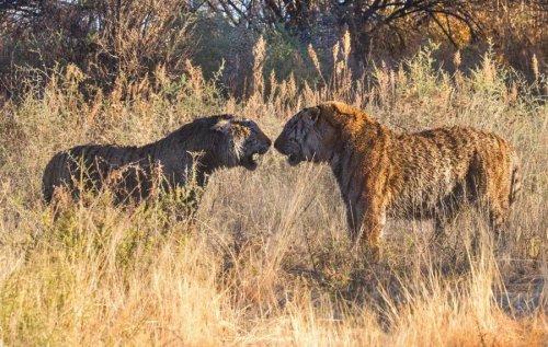 Свирепые тигры (10 фото)