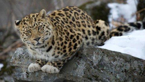 """Леопард в белых """"перчатках"""" """"позировал"""" перед видеокамерой в Приморье (2 фото+видео)"""