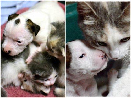 Кошка выкормила щенка питбуля (6 фото)