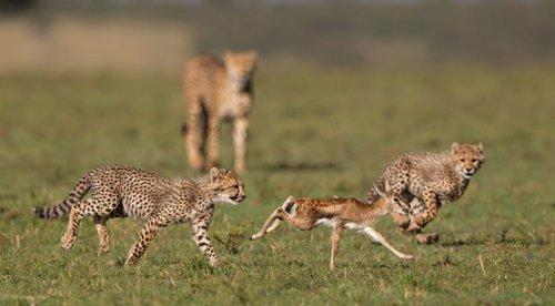Зоологи впервые измерили скорость гепардов в дикой природе (9 фото)