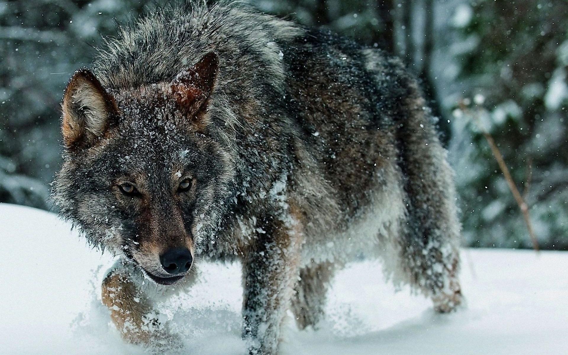 что картинки волк высокое разрешение разницу характеров круга