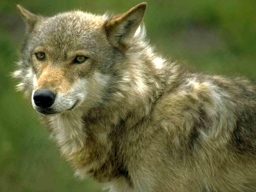 Открытки и фото волков, героями войны днем