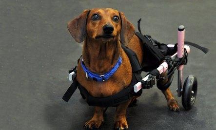 Такса по кличке Диксон победила паралич и получила второй шанс в жизни