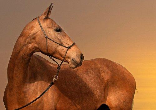Ахалтекинская лошадь (6 фото)