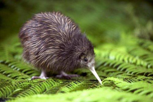 Это интересно: Птички киви оказались родом из Австралии
