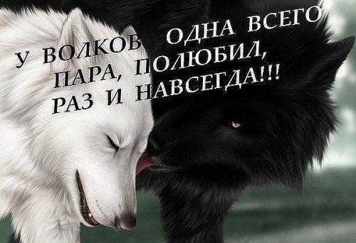 Волк - это и символ бесстрашия (30 фото)