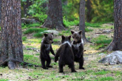 Танец финских медвежат (10 фото)