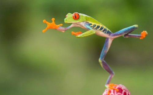 Прыгающая красноглазая лягушка из Коста-Рики (13 фото)