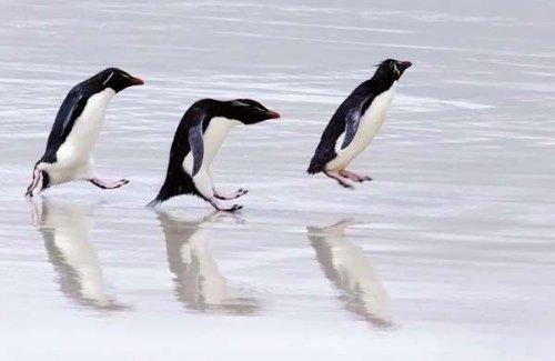 Юмор: Подборка смешных моментов с пингвинами