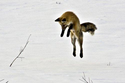Зимняя охота лисы на полевую мышь (4 фото)