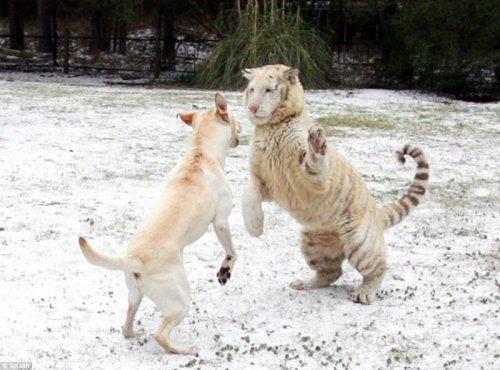 Лабрадор и тигры - лучшие друзья (8 фото)
