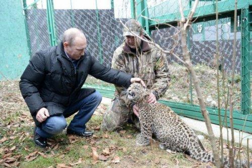В Сочи леопард после встречи с Путиным напал на журналиста (3 фото)