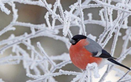 Снегири (10 фото)