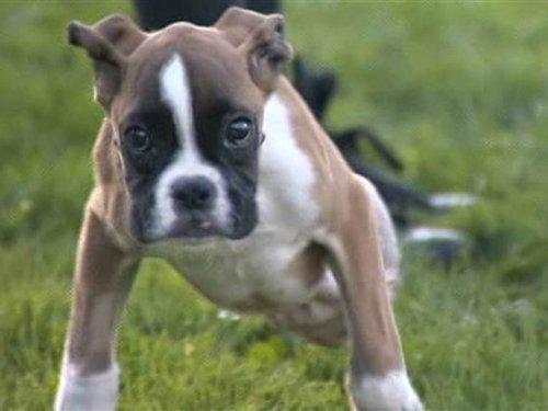 Если эта двухногая собака не впечатлит, Вы безнадежны