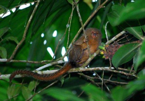 Карликовая мартышка – самая маленькая обезьянка (17 фото)