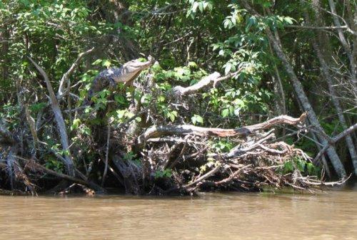 Крокодилы умеют лазать по деревьям