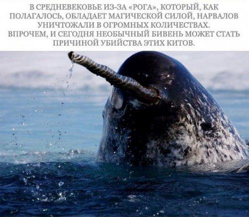 Морские млекопитающие на грани вымирания (17 фото)