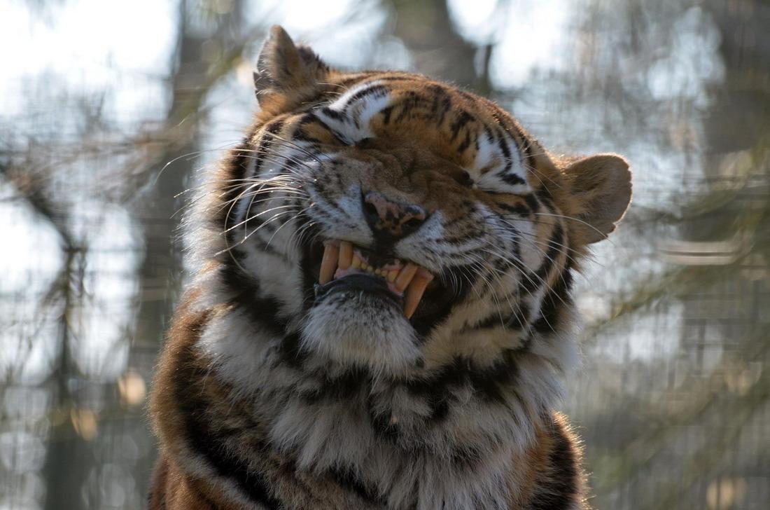 Открытка, тигрица смешные картинки